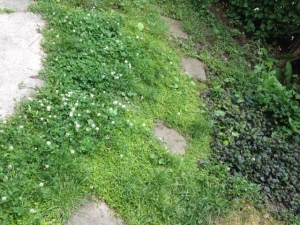 The mazus reptans (center) and the ajuga (right) were by design, the clover (left) a concession.